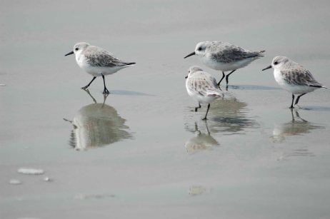 sandpipers-wallpapers
